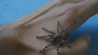 Handling fast Indian Ornamental Tree Spider (Poecilotheria regalis) L5 [Inferion7]