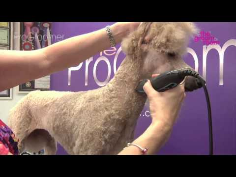 Grooming Guide - Standard Poodle Miami Trim - Pro Groomer
