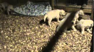 White Golden Retriever Puppies.