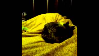 Стафилококк у кошки британки