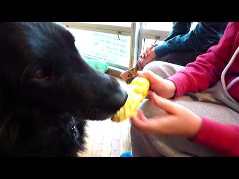 Gigi The Famous Rescue Dog eats corn off the cob.