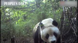 Hello, beauty! A wild panda bear was spotted by an infrared camera in SW China's Sichuan.