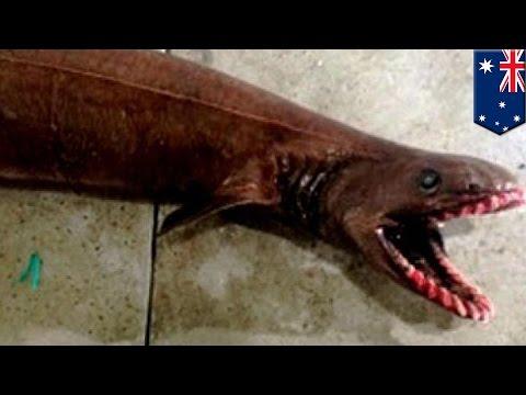 Creepy prehistoric frilled shark captured in southern Australia