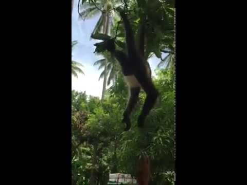 Spider Monkeys In Usulutan, El Salvador