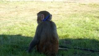 Opice makak / Macaque monkey