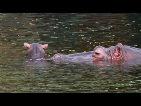 Thumbnail: Baby Hippo Born at Memphis Zoo