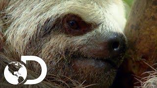 ¿Cómo se ha adaptado el perezoso a la selva? | Latinoamérica salvaje | Discovery Latinoamérica