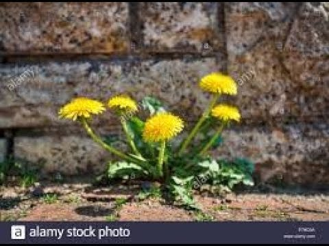 """The """"Christian"""" and the dandelion are both from Greece...what?"""
