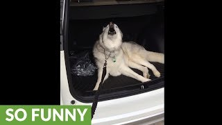 Husky throws epic tantrum, refuses to leave car