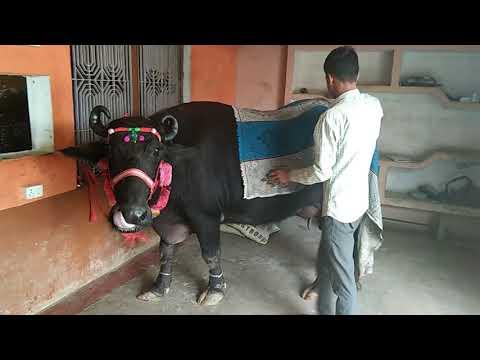Haryana ki  shan nagla  mulla k naam mo. Sadik  vopaari 200000 ki khreed haryana se sadik  nagla  mu
