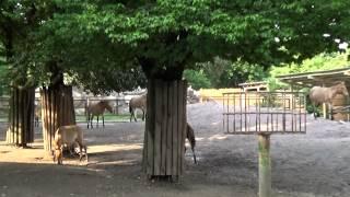 Лошадь пржевальского (Equus ferus przewalskii)