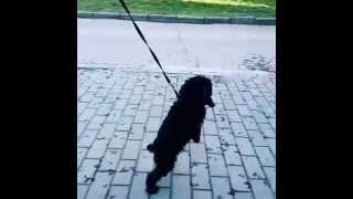 Дрессировка собак.Урок 2 Собака ходит на двух лапах.