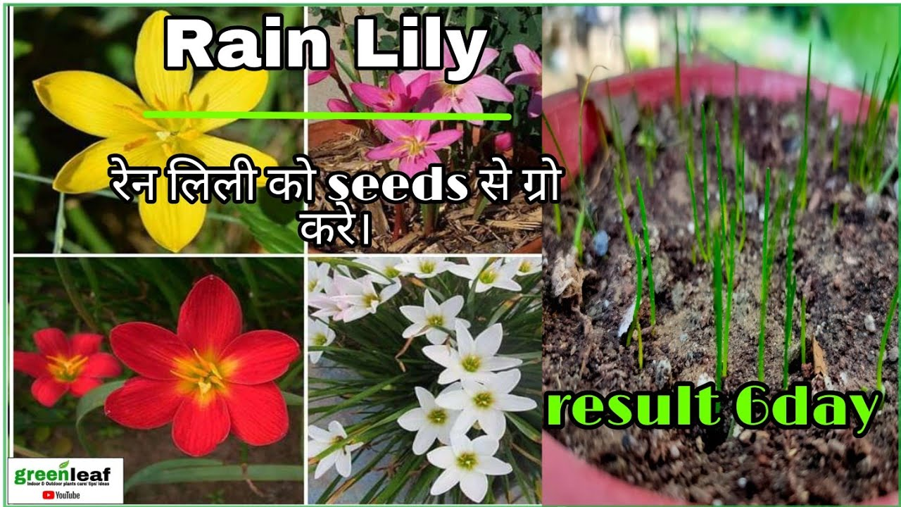 How To Grow Rain Lily From Seeds Growing Yellow Rain Lilie From Seeds Zephyranthes Lily Seeds Youtube