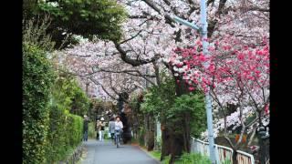 鎌倉市 砂押川沿いプロムナードの桜