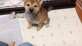 柴犬ナナチャンネル shiba dog puppy 生後3ヶ月のしば犬ナナちゃんにお...