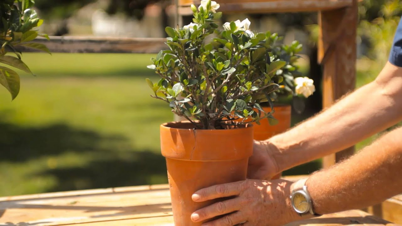 How to Keep a Potted Gardenia Indoors for the Winter : Garden Savvy ...