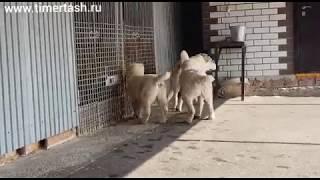 Вечные разборки на питомнике Или просто один день из жизни собак 😁😁😁