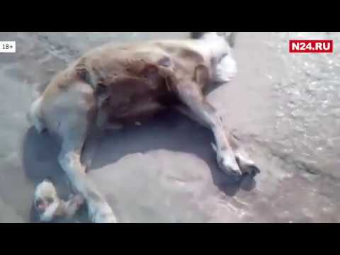 18+ Жуткие кадры: оленье стадо попало под колеса автомобиля на зимнике в ЯНАО