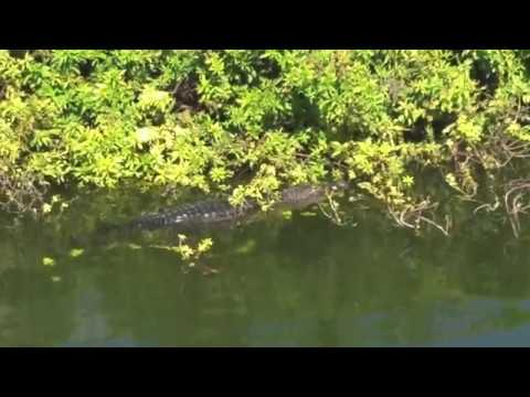 Alligator in Eagle Lake Park, Clearwater Florida