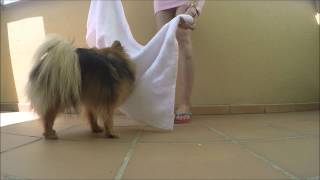 "The Intelligence Of Pomeranians Through The ""scientific"" Towel Test"
