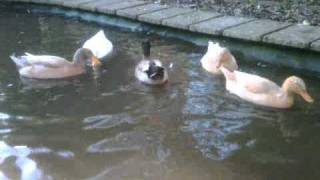 Upending Behaviour in Domestic Ducks.