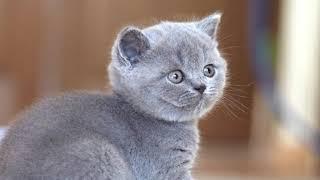 Британский кот Джексон в возрасте 6 недель