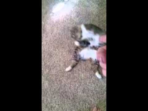 Manx cats are trainable