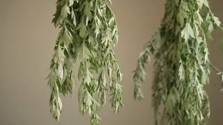 Mugwort - A Wild Edible, Medicinal, and Magical Herb