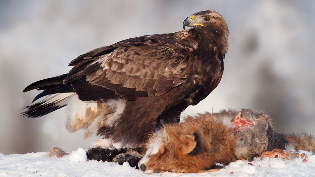 Hunting a Fox from an Eagle's eyes