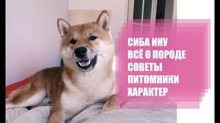 Cиба-ину (Shiba Inu). Как выбрать щенка, питомники и другие советы (Часть 2)