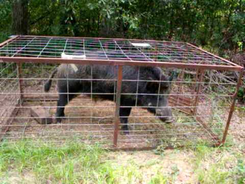 Hog Trapped August 9th