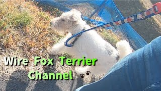 You can overcome any difficulty with a wire fox terrier.