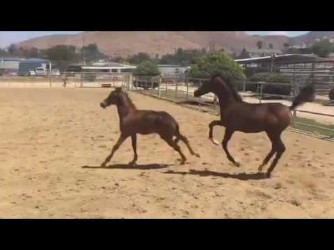 Two Purebred Arabians Foals Play in First Turnout