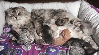 Маленькие котята / котята шотландские вислоухие  1,5 недели / Шотландская вислоухая кошка