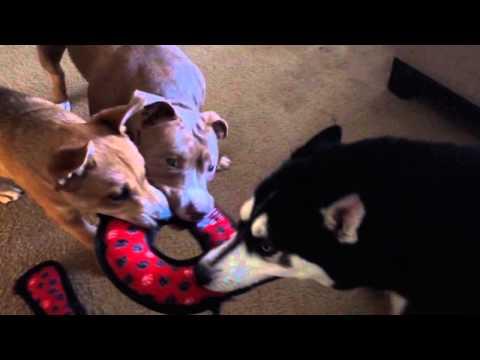 Tug-o-war between pitbull/husky/pitsky