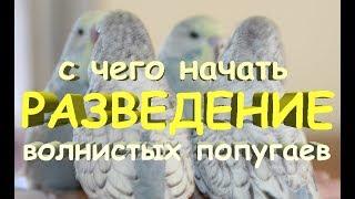 🐣 Как начинать разведение волнистых попугаев