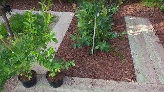Jak sadzić Borówke Amerykańską
