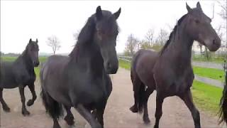 Good evening Friesian horse ladies! Time to go inside!