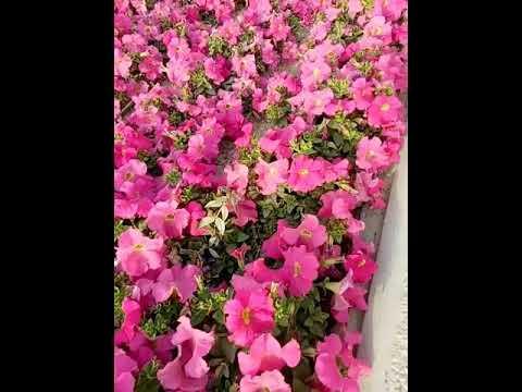 flowers from qatar