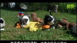《狗狗101》鬥牛(犭更) (一) 20:00