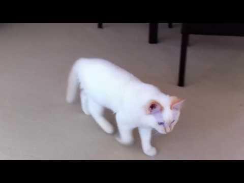 My Flame-Point Ragdoll, Diesel as a Kitten