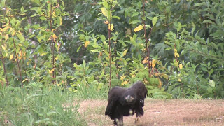 Young Bald Eagle's Struggle to Survive