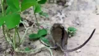 Бесстрашная полевая мышь
