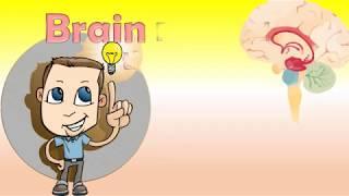 Brain; parts of brain and their functions; cerebrum cerebellum brainstem; science for kids