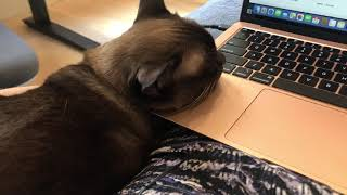 Working with a Burmese cat