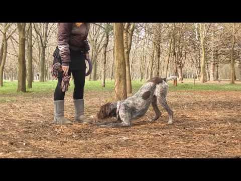 German wirehaired Pointer.DOG TRICKS.