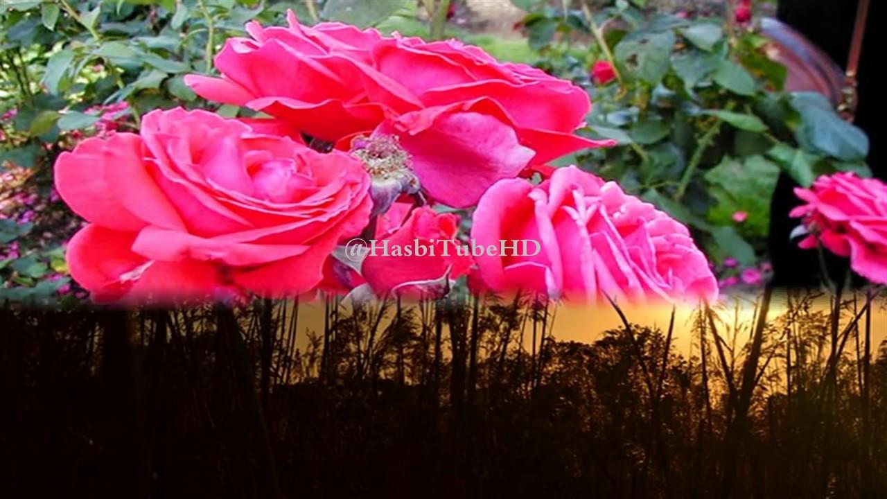 Image result for perawatan mawar merah