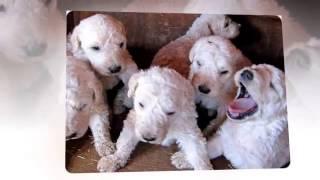 Собаки породы Комондор!