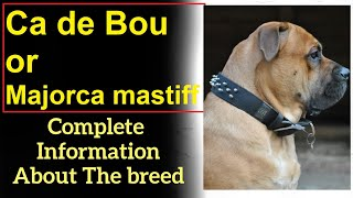 Ca de Bou or Majorca mastiff. Pros and Cons, Price, How to choose, Facts, Care, History