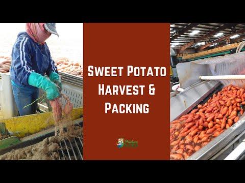 Sweet Potato Harvest & Packing